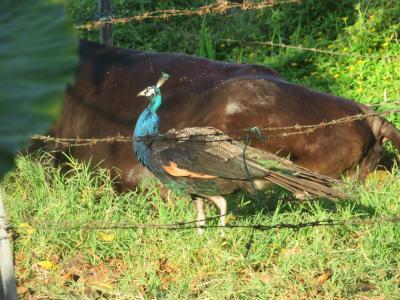 駆除され続け、今では目撃写真を撮ることが難しくなった黒島のインドクジャク♪渡り鳥のアカショウビン♪2019年7月八重山・黒島8泊9日117