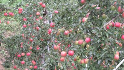 小雨に烟る北信濃・色付きはじめた林檎がたわわに実る出湯の郷で (3)