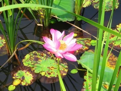 運河三湾風景区の古運河の湿地に架かる木径を歩いて行くときれいなハスが咲いていた♪剪影橋2019年6月中国 揚州・鎮江7泊8日(個人旅行)87