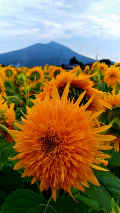 筑波山を背景に一面のひまわり畑