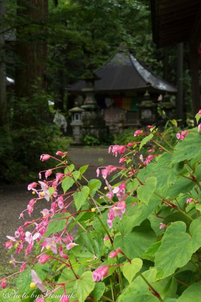 秋の訪れを告げる花、秋海棠を見に寺山観音寺へ