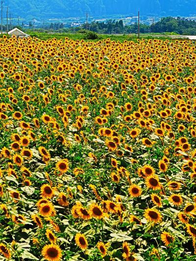北杜市-1 明野サンフラワーフェス2019  ヒマワリ畑-絶景! ☆60万本近く・開花期ずらして