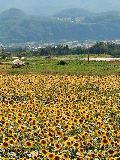 北杜市-2 明野サンフラワーフェス/ハイジの村-麓 ☆ひまわり-見ごろ・日照時間日本一の里で