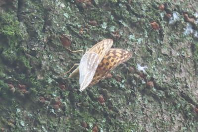 森のさんぽ道で見られた蝶(46)クロコノマチョウ、ミドリヒョウモン、ヒカゲチョウその他