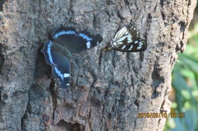 森のさんぽ道で見られた蝶(47)ゴマダラチョウ、ミドリヒョウモン、ムラサキシジミその他