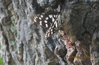 森のさんぽ道で見られた蝶(48)クロコノマチョウ、ゴマダラチョウ、テングチョウその他