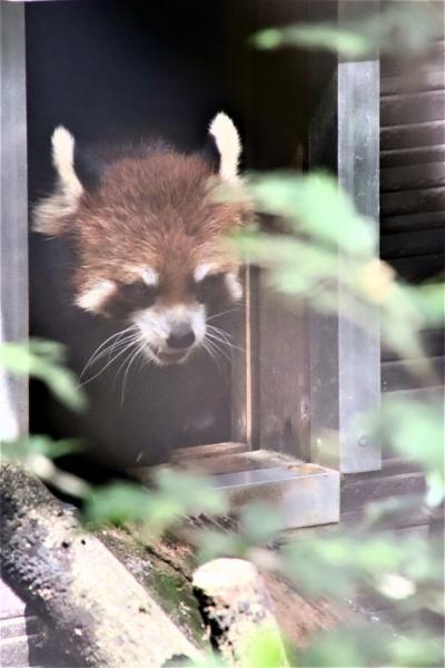 赤ちゃんゾウたちがいる市原ぞうの国に再訪(3)レッサーパンダのイチロウくんが元気そうで安心~アルビノのヤマアラシもいたその他の動物たち