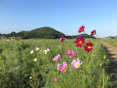 岡山☆笠岡ベイファームのコスモス畑