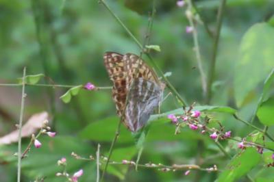 森のさんぽ道で見られた蝶(49)ミドリヒョウモン、クロコノマチョウ、ヒカゲチョウその他