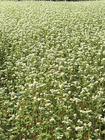 真っ白なソバの花と、おまけは栗きんとん(*^ ^*)