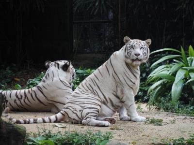 4泊5日シンガポール旅 2018~3日目~YY Kafei Dian、シンガポール動物園、リバーサファリ、ナイトサファリ、NamNam