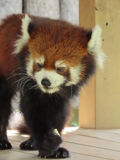 王子動物園 神戸でやっと(まともに)会えたね、野風ちゃん!! みどりちゃん、次はフェニックスで会おうね!! そして、ヨギ君、やすらかに・・・