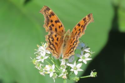森のさんぽ道で見られた蝶(50)キタテハ、ヒメアカタテハ、ツマグロヒョウモンその他