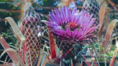 大阪市鶴見区 花博記念公園の咲くやこの花館へ その9。