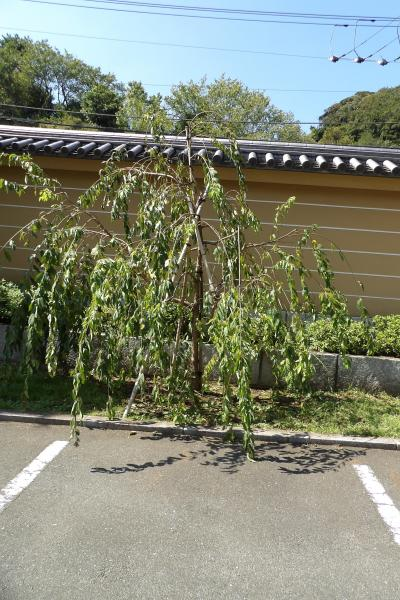 建長寺駐車場に3本の枝垂れ桜を発見