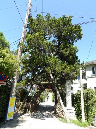 荏柄天神社の銀杏の木とビャクシン