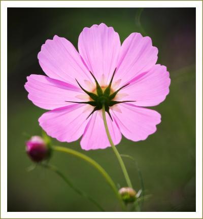 Solitary Journey[1108]秋の気配、高原を吹き抜ける風が畑一面のコスモスの花を揺らしていました。<コスモス園>広島県世羅町