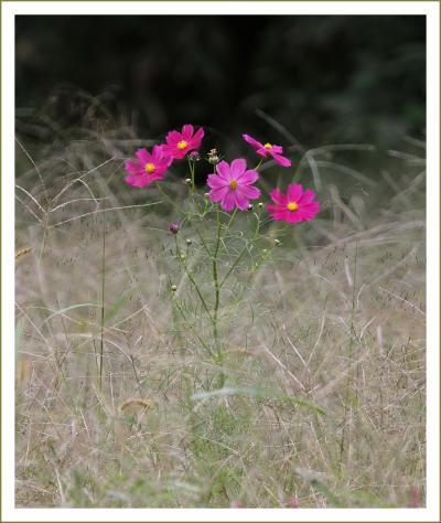 Solitary Journey[1109]秋の花をさがして里山をウロウロ♪<秋風に揺れる可憐なコスモスと真っ赤なヒガンバナ>広島県東広島市