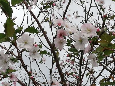 咲いてる桜見っけ