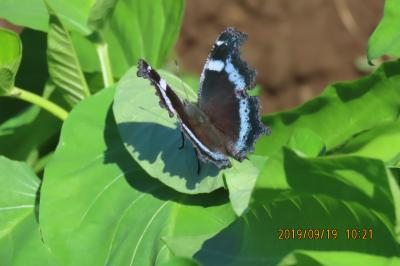 森のさんぽ道で見られた蝶(51)クロコノマチョウ、ミドリヒョウモン、キタテハ、ヒメアカタテハその他