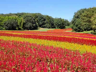 秋晴れと鮮やかなケイトウの絨毯に心が躍る♪♪ 国営武蔵丘陵森林公園