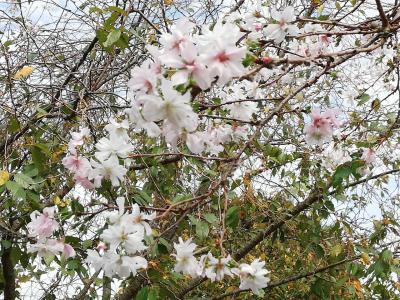 茨城で咲く桜探し筑西市