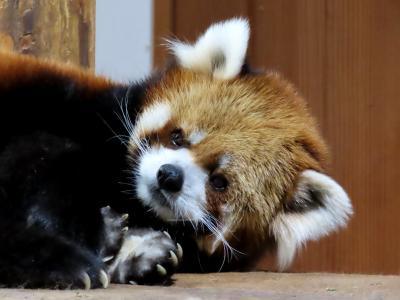 茶臼山動物園 国際レッサパンダデーは10月からバックヤード暮らしになるロン君に会いに茶臼山へ!! ポポ君は当面展示継続だそうです!!