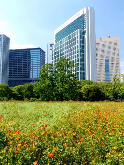 残暑の「浜離宮恩賜庭園」_2019_台風一過の残暑、キバナコスモスは見頃過ぎ(東京・中央区)