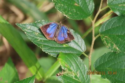 森のさんぽ道で見られた蝶(53)ムラサキシジミ、ウラギンシジミ、クロコノマチョウその他