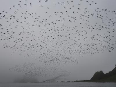 千島列島ワイルドライフクルーズ11日間5日目(クルーズ3日目)ライコケ島⇒ヤンキチャ島