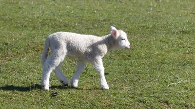 クイーンズタウンも9月20日には桜が咲き、牧場では子羊がたくさん