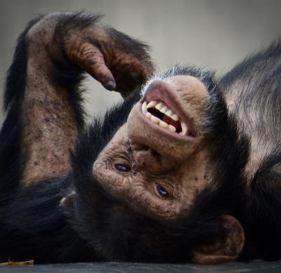 オジサンになってから、やっと来れた、あの「旭川」にある『旭山・動物園』(チンパンジー・鷲・フラミンゴ編/旭川市/北海道)#2
