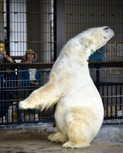 オジサンになってから、やっと来れた、あの「旭川」にある『旭山・動物園』(シロクマ編/旭川市/北海道)#4