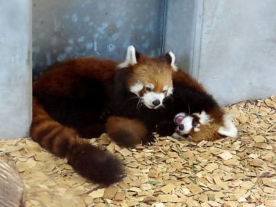 日本平動物園&浜松市動物園 おめでとう!!ホーマーちゃん&縞縞君、キララちゃん&チイタ君!! 2組の仔パンダに会いに静岡2園をハシゴ