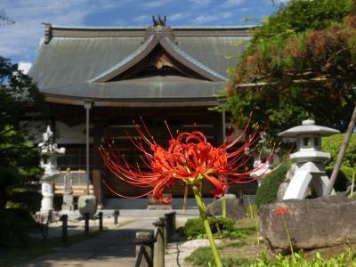 「恩林寺」のヒガンバナ_2019_咲き始めました。開花1~2割です。(群馬県・邑楽町)