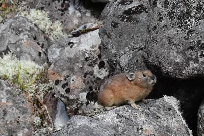 然別の風穴地帯に生息するエゾナキウサギ~とかち鹿追ジオパークとの出会い~(帯広)