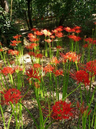 「境御嶽山自然の森公園」のヒガンバナ_2019_咲き始めています。開花1割くらいです(群馬県・伊勢崎市)