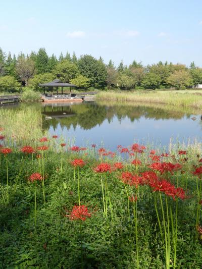 「みかも山・万葉庭園」のヒガンバナ_2019_咲き始めました。開花3割くらいです。(栃木県・佐野市)