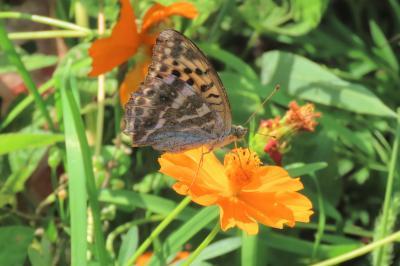 森のさんぽ道で見られた蝶(54)ミドリヒョウモン、キタテハ、クロコノマチョウその他