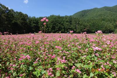 秋の信州伊那谷 赤そばの花畑へ GO!!