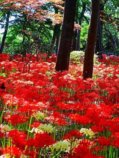 常盤平-2 祖光院 ヒガンバナの名所 満開! ☆赤/白花の群生・黄/ピンク珍種も咲き揃い