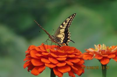 森のさんぽ道で見られた蝶(55)キアゲハ、クロコノマチョウ、その他