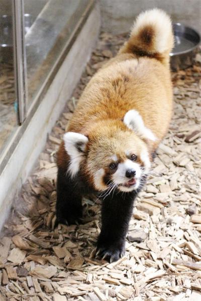 おつかれロンくん9月の茶臼山動物園(2)レッサーパンダ特集:ロンくん見納め&思ったより元気だったヒビカル・屋外パンダが見られたぎりぎり気候