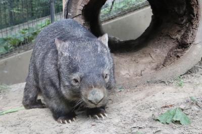 おつかれロンくん9月の茶臼山動物園(3)やっと会えたビントロングのシュートくん&モモコちゃんが寝ていて寂しげなウォンバットのウォレスくん他