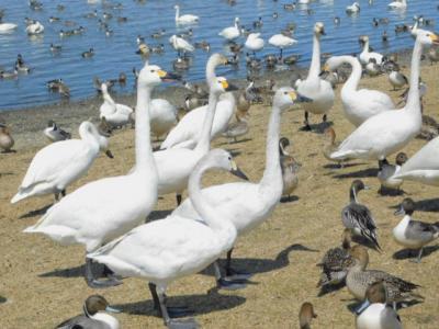 クッチャロ湖に集まる興奮ぎみのハクチョウさんたち!