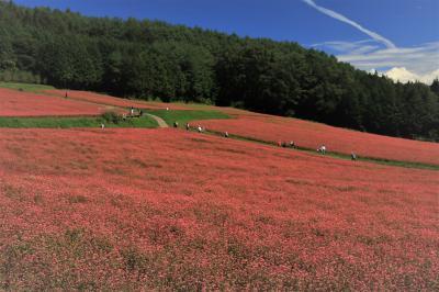 花から花へ花巡り♪ 紅に染まる高嶺ルビーのそばの花、天上の青ヘブンリーブルー&彼岸花咲くお寺♪