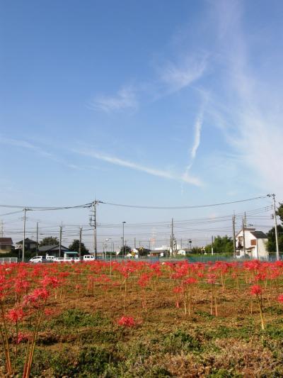 久喜市の私設の花園でヒガンバナが満開と聞き訪れました