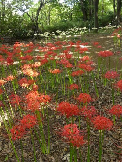 「境御嶽山自然の森公園」のヒガンバナ_2019(2)_綺麗に咲き揃い、見頃です。(群馬県・伊勢崎市)