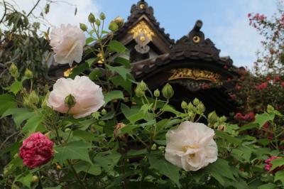 鎌倉花巡り、妙隆寺のフヨウをメインに、大巧寺、鶴岡八幡宮で秋の花を愛でる。
