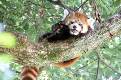 残暑の埼玉こども動物自然公園(前編)今のうちにたくさん会いたいレッサーパンダのみやびちゃん&独り立したワラビーやワオギツネザルの赤ちゃん